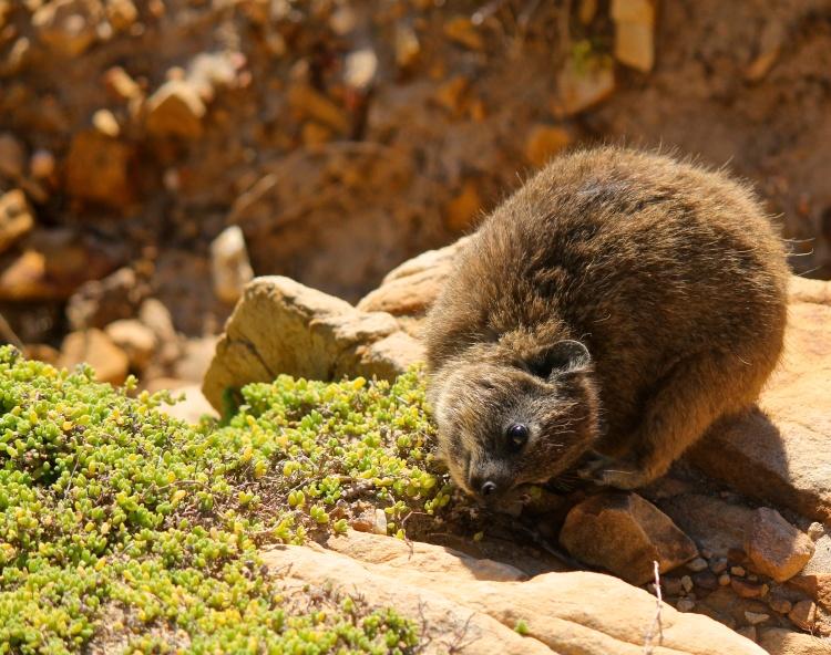 A dassie, or rock hyrax