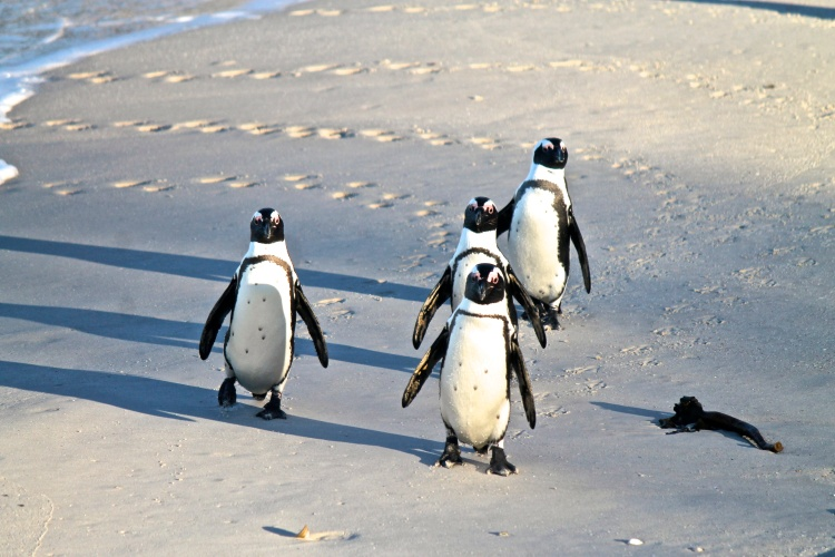 African Penguins emerging from the water after a fishing trip