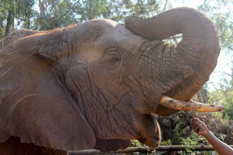 Marula, matriarch of the Elephant Sanctuary, Plettenberg Bay