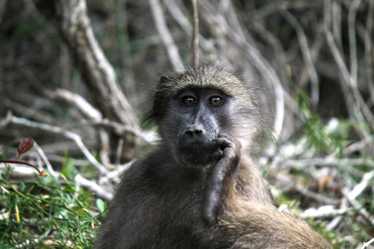 Baboon, Nature's Valley
