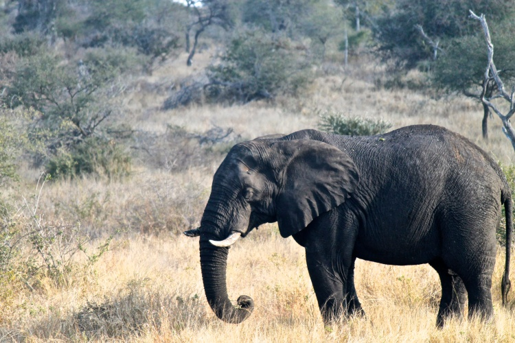 African Elephant (Loxodonta africana) (Afrikaans: Olifant) - these guys can also be very dangerous. We were driving up a deserted road and one came out in front of us and almost charged. They don't like us getting too close!
