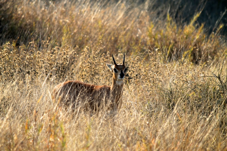 Steenbok (Raphicerus campestris) - this little antelope stands at about half a metre high. The females are slightly larger, but only the males have horns.