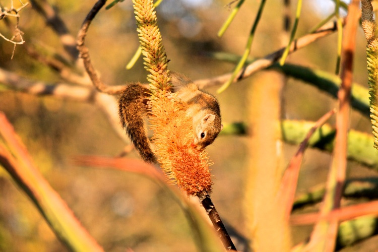 Smith's Bush Squirrel (Paraxerus cepapi) (Afrikaans: Geelpooteekhorinkie) - foraging in the early morning at Olifants.