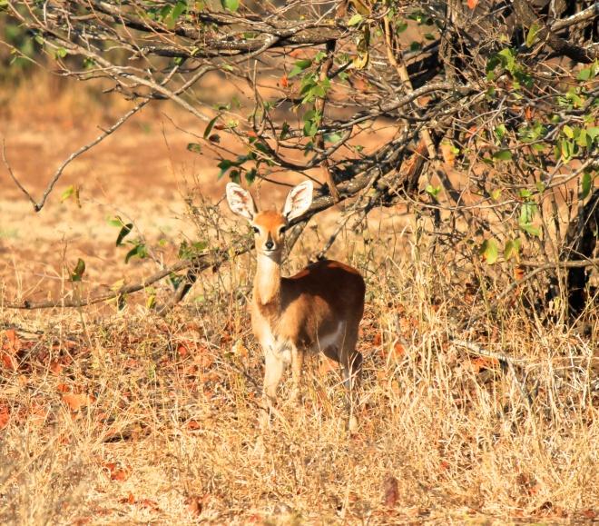 Female Steenbok.