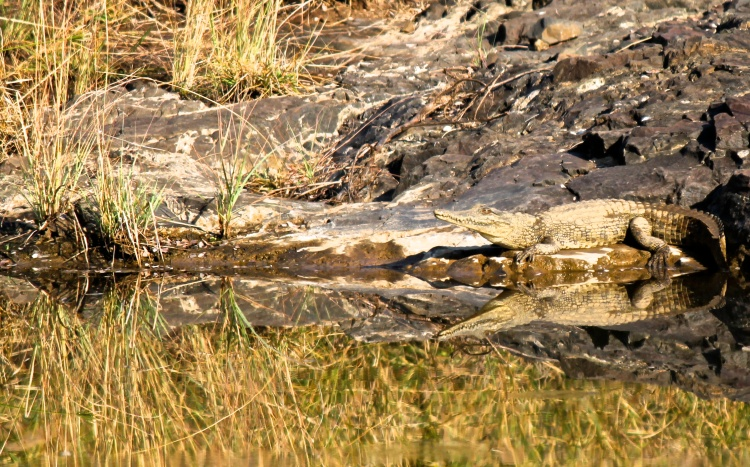 Nile Crocodile (Crocodylus niloticus) (Afrikaans: Krokodil) - the second largest reptile in the world, after Australia's saltwater croc. But this little guy had a bit of growing to do yet.