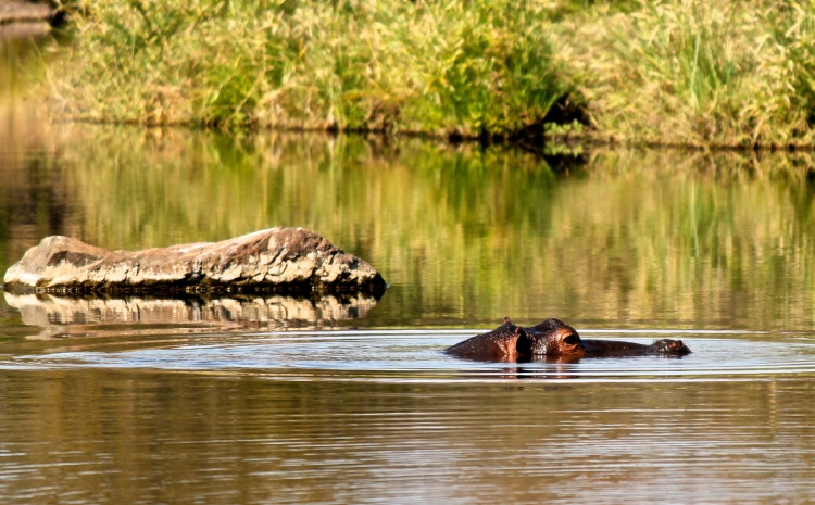 Hippopotamus (Hippopotamus amphibius) (Afrikaans: Seekoei) - we waited a while at this river crossing for this hippo to come out of the water for a better shot, but apparently he was more content swimming.
