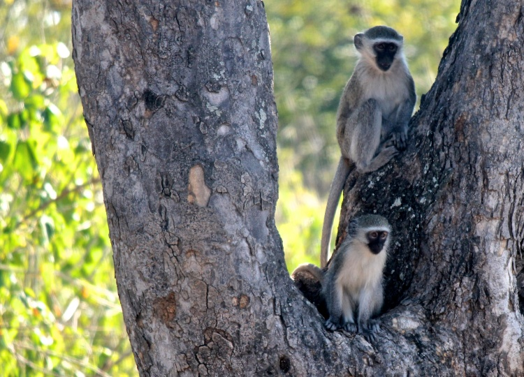 Vervet Monkeys (Chlorocebus pygerythrus) (Afrikaans: Blouaap) - these primates are native to Africa and are quite common in the park.