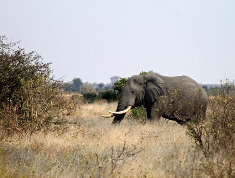 Elephant - this lone male had pretty big tusks.