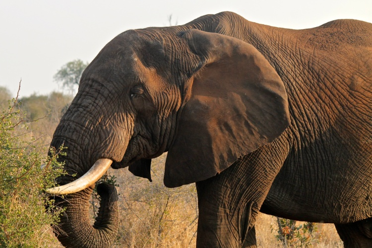 Elephant in the late afternoon sun.