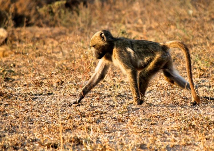 Juvenile baboon.