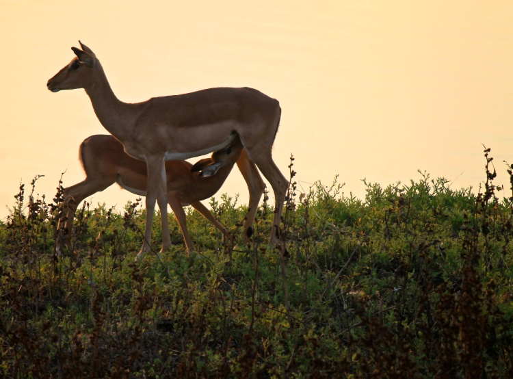 A mother impala and her baby by a very popular waterhole.