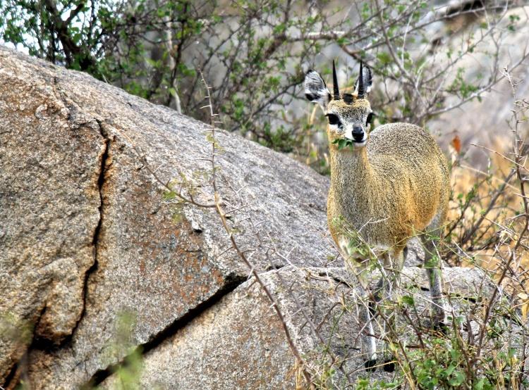 A pretty well-camouflaged Steenbok.
