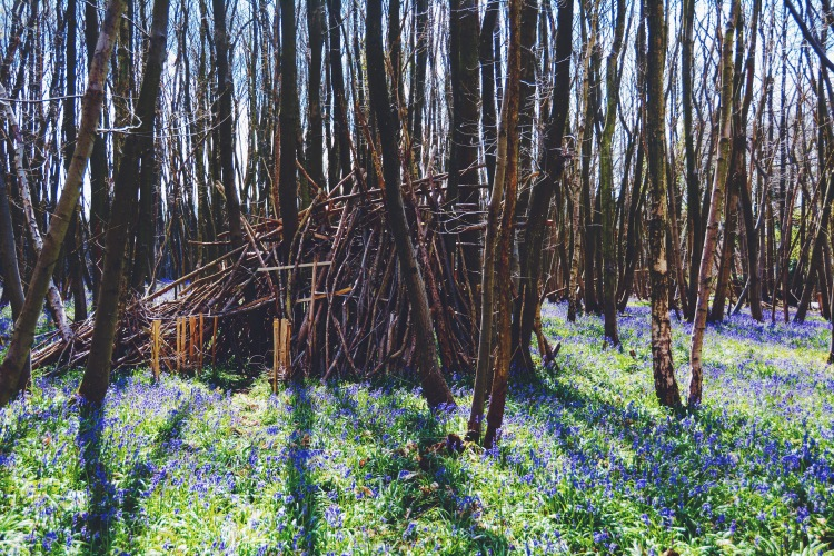 Bluebells in the Kings Wood, Kent.