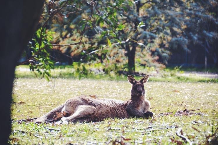 Kangaroo on Raymond Island.