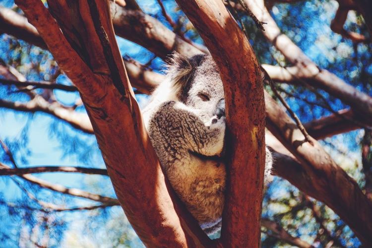A sleepy koala.